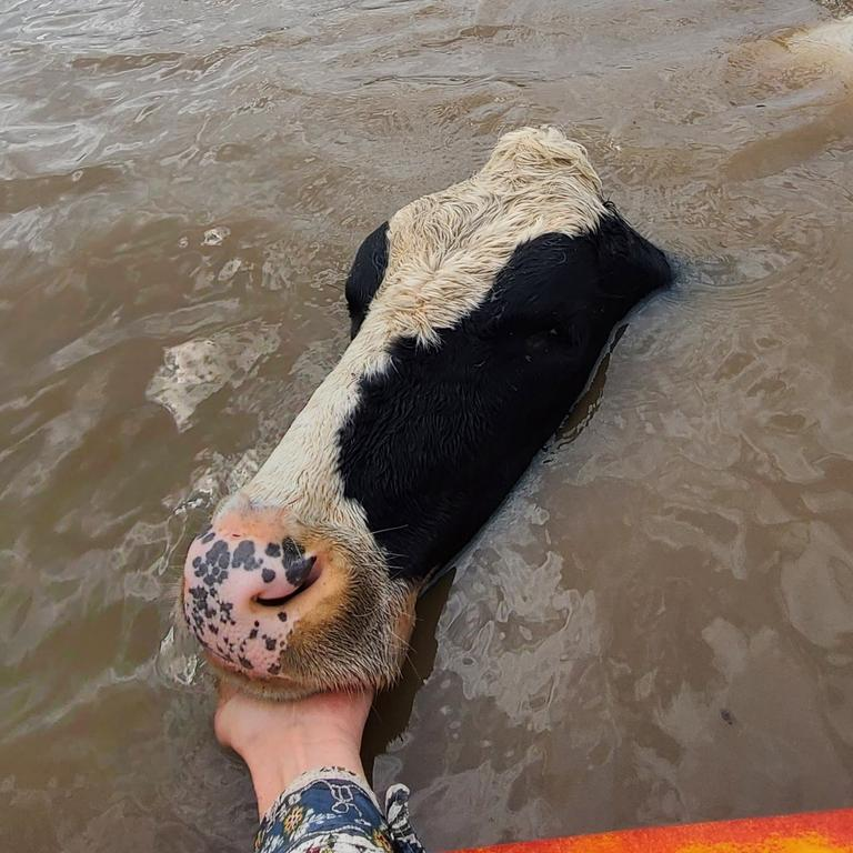 Brave attempts to rescue cows using kayaks as flood waters rise across the Mid North Coast.