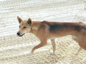 Safety blitz on Fraser Island after dingoes bite child