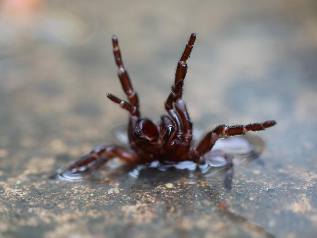 The Australian Reptile Park is issuing a warning to the public with the prediction of an influx of funnel-web spiders. Picture: Australian Reptile Park
