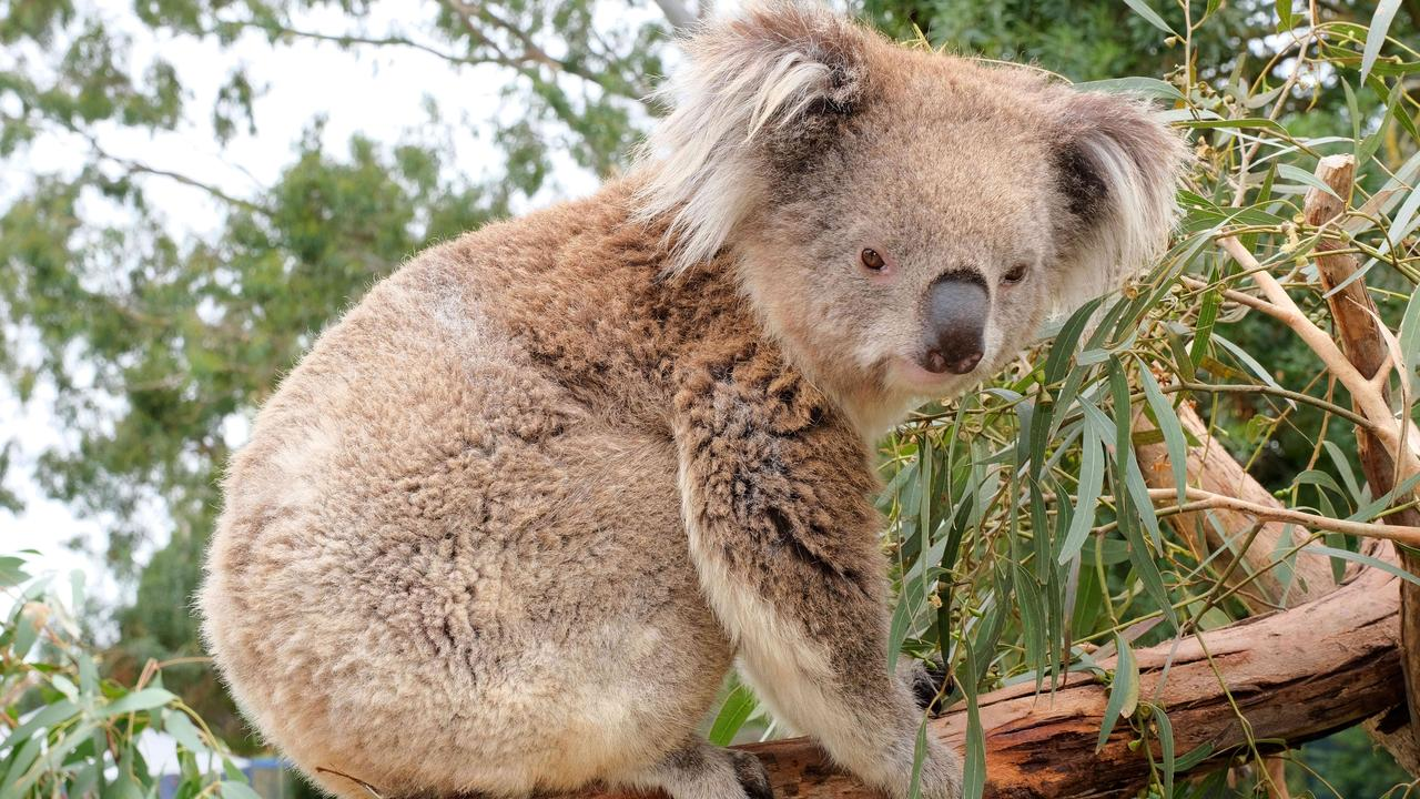CQ University Koala researcher Dr Flavia Santamaria and other scientists have spent the past year studying chemicals in the mammal's poo and how they impact their stress levels which could hold a key to preserving the iconic species. Picture: Mark Wilson
