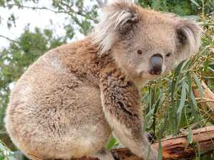 Poo pellets potential key koala survival link