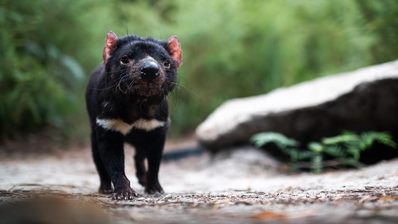 A Tasmanian devil walking in the rain. Picture: ALEX KYDD