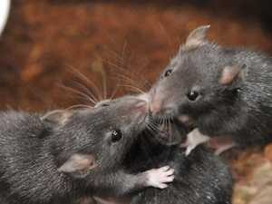 Warning: Wet weather could bring rodent infestation