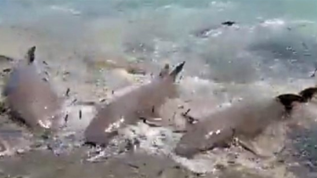 Murray Island sharks in a sardine feeding frenzy have been captured on video literally swimming up onto the beach to get a feed.