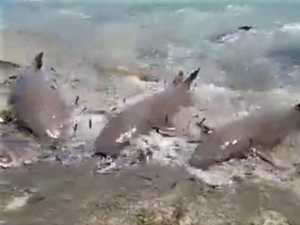 Predators caught in feeding frenzy