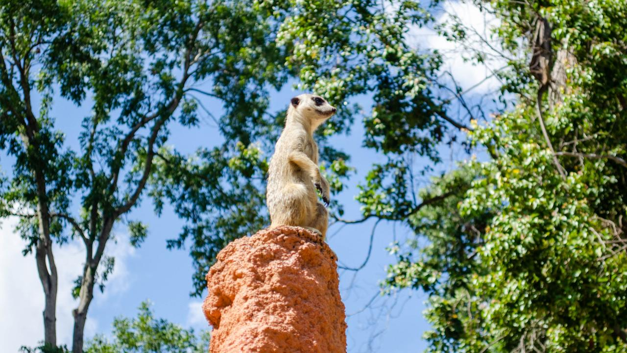 Rockhampton Zoo will be offering its first ever meerkat experience in April. Photo: Lachlan Berlin