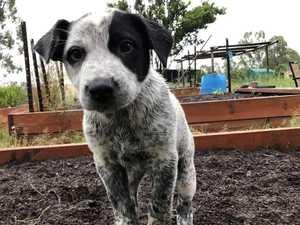 Puppy's abduction leaves owner, breeder 'devastated'