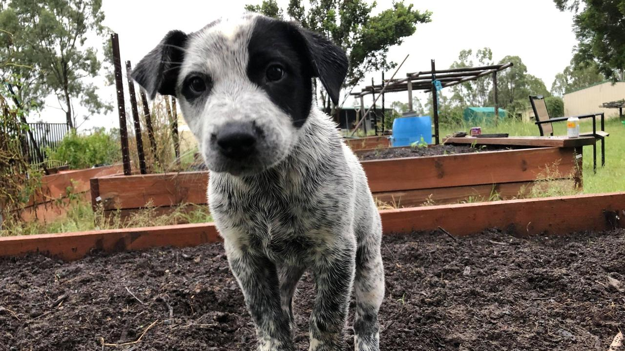 HELP FIND DODGE: Dalby police are appealing for information after Dodge the Australian cattle dog was stolen from the Dalby Showgrounds on April 2. Picture: Contributed