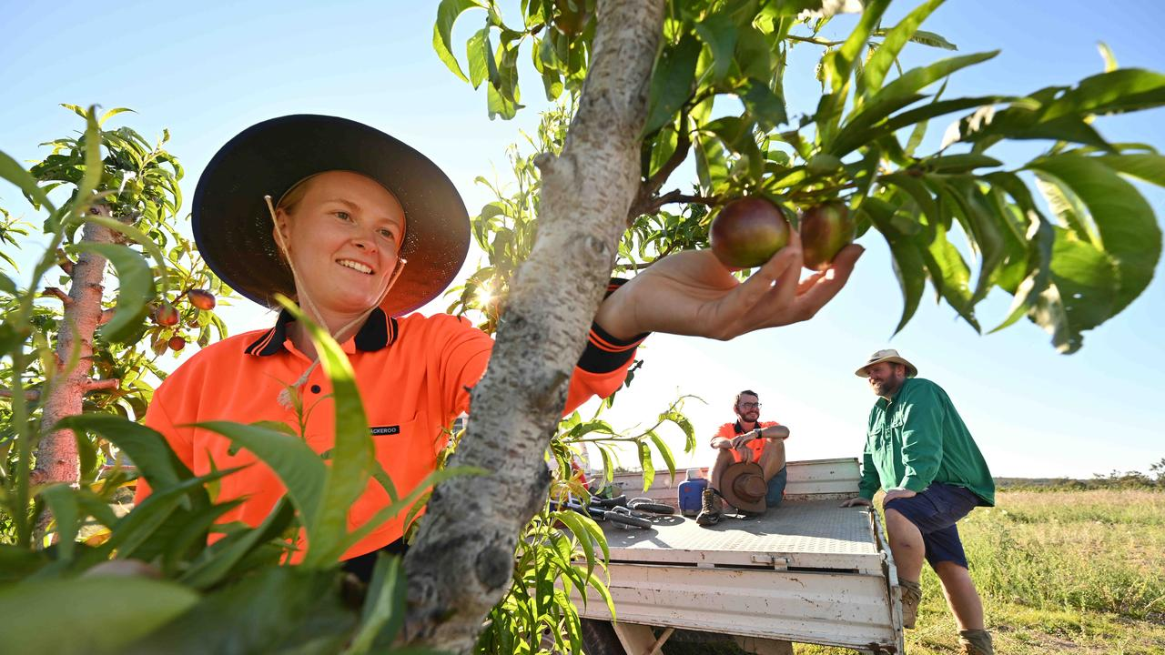 Queensland stone fruit grower Angus Ferrier with workers Eleanor Smith from the UK and her partner Kilian Hoeckman from Belgium. Picture: Lyndon Mechielsen