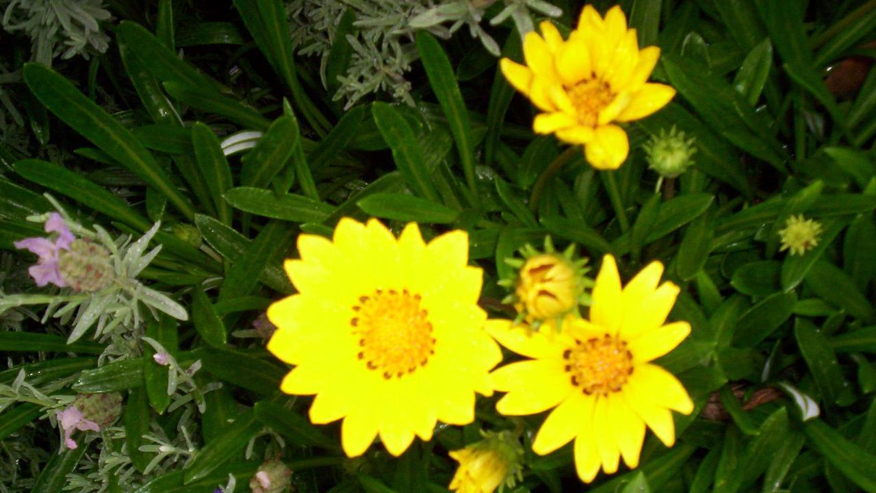 Gazania scandens yellow