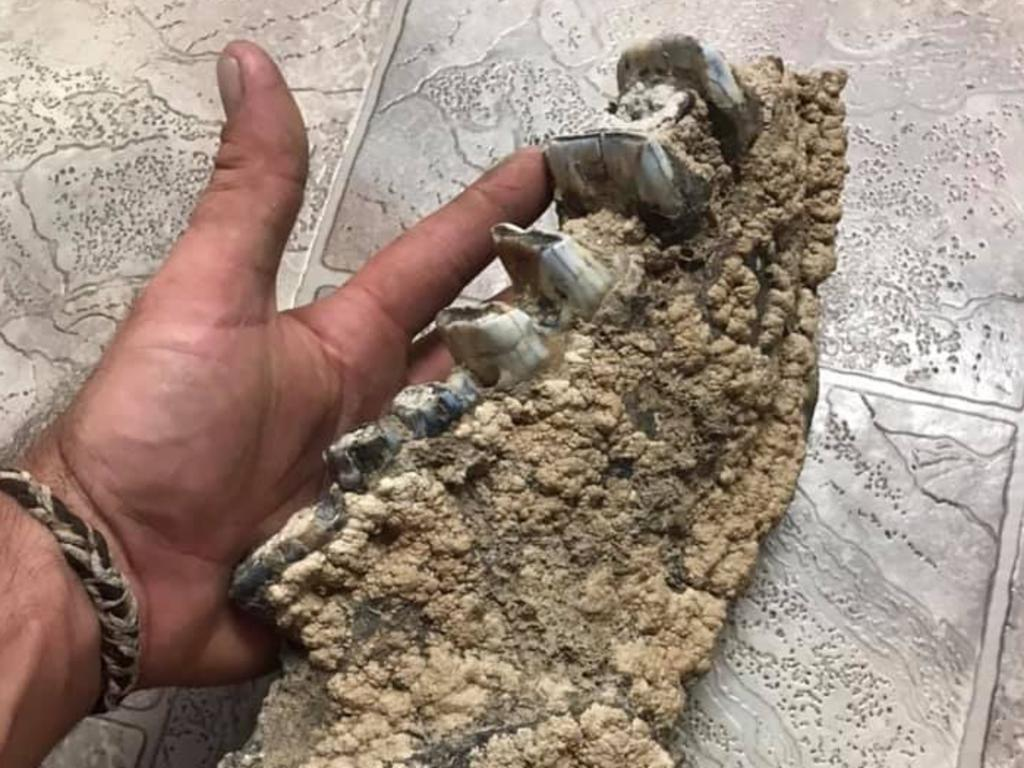 Jonathon Young found what experts believe to be the bottom right side jaw of a Diprotodon and a few other fossils near Blackwater.