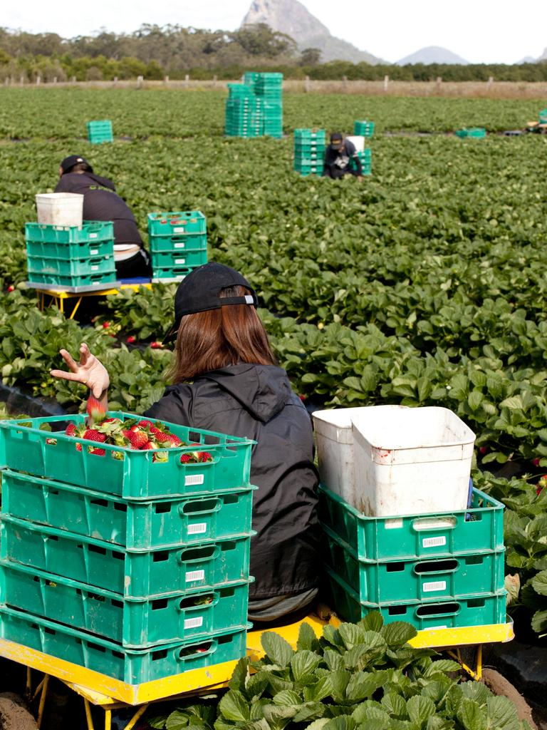 New strawberry pickers and packers could walk away with a $100,000 cash prize in this Queensland Strawberries initiative.