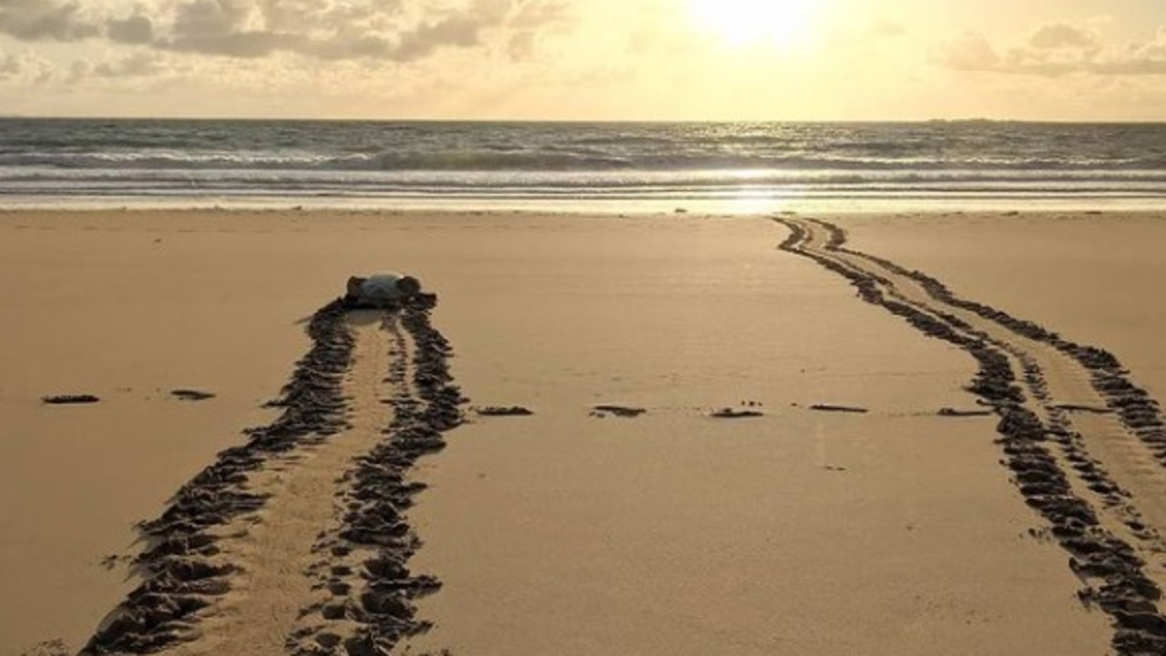Flatback turtle tracks at Bucasia beach, 2020. Picture: Joely Whiting