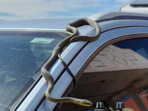 Horror moment snake appears on car