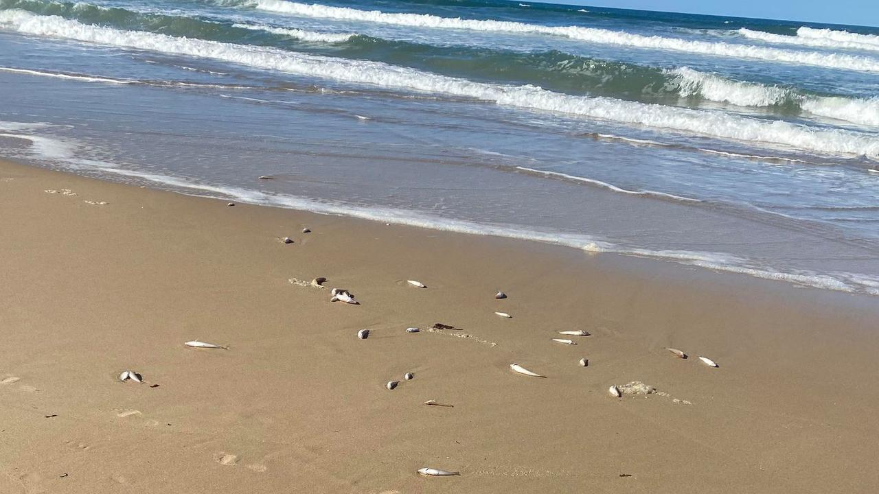 Ebony Alea Hames shared video and photos of dead fish washing up on Yaroomba Beach on Friday.