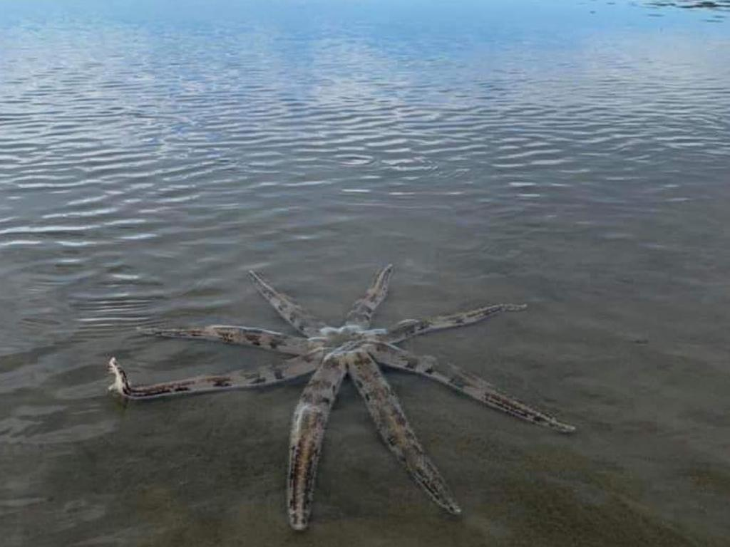 Karen Crompton said the eight-armed seastar did not try to bury itself while they were watching it at Blacks Beach. Picture: Contributed