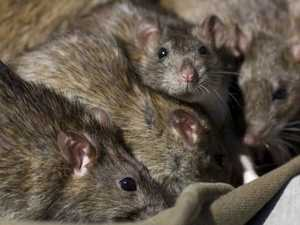 Housing developments to blame for rodent 'infestation'