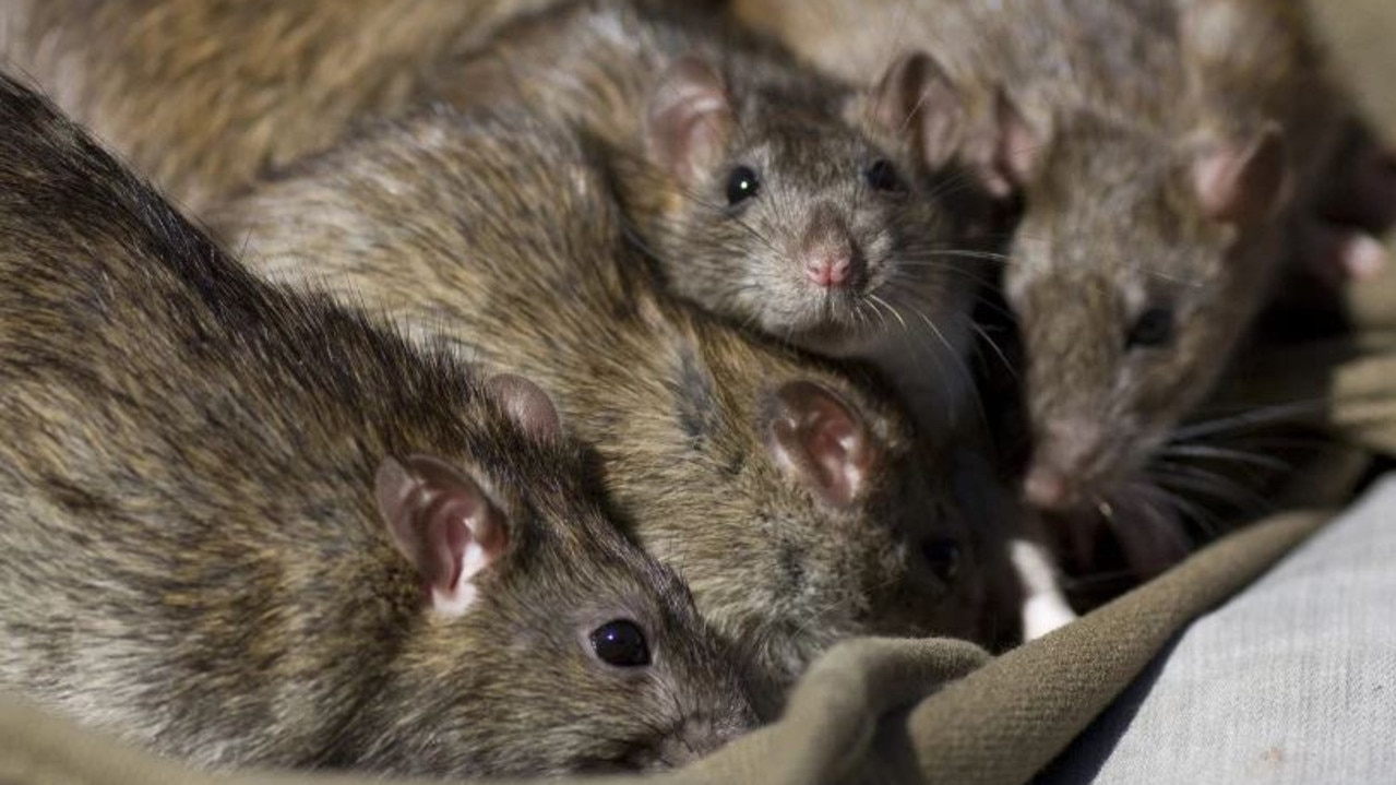 Redbank Plains is reportedly on the brink of a rodent infestation amid increased sightings.