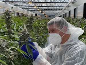 $400m cannabis farm to create 1000 jobs
