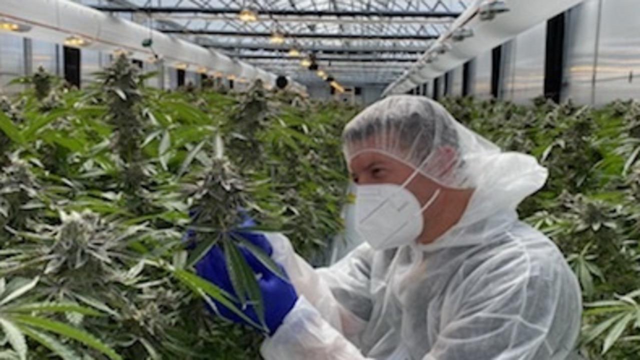 Matt Cantelo in the cannabis greenhouse.