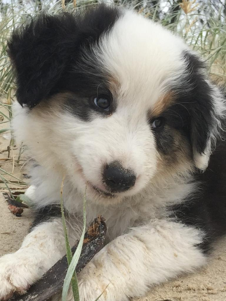 Billy pictured as a puppy. Picture: Supplied.