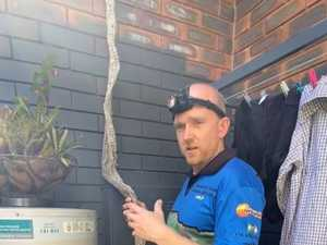 Monster snake skin found dangling from roof