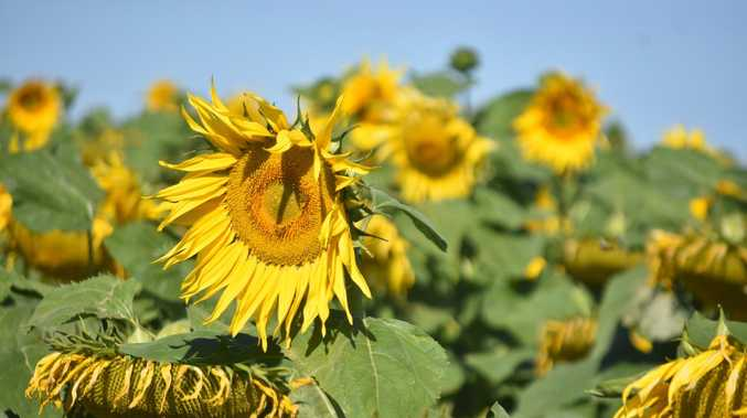 REVEALED: Instagram-worthy sunflower fields in Western Downs