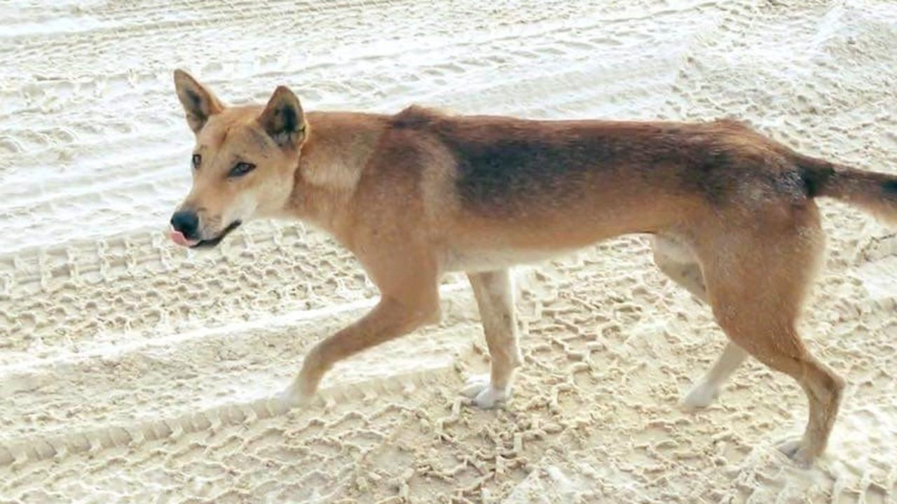 A rescue helicopter is on scene at Fraser Island after a boy was reportedly bitten by a dingo. Picture: File