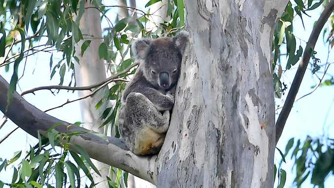 How Casino meatworks is helping to save our koalas