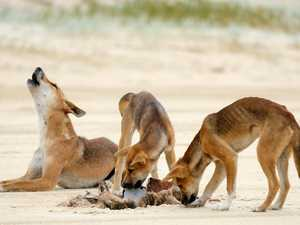 DINGO DEATH: Investigation after animal hit by car