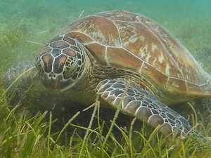 Man ordered to pay $6900 over Seaforth turtle killing