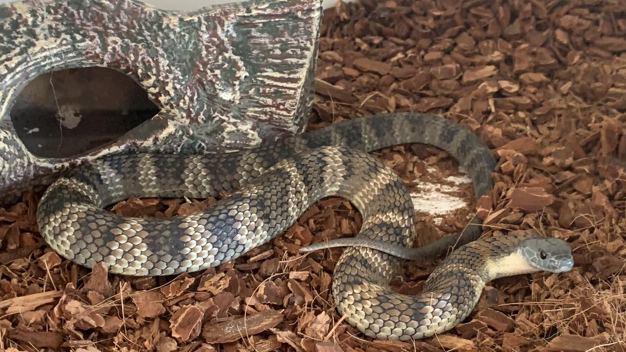 The eastern tiger snake that nearly killed Ben Avery. Picture: Supplied