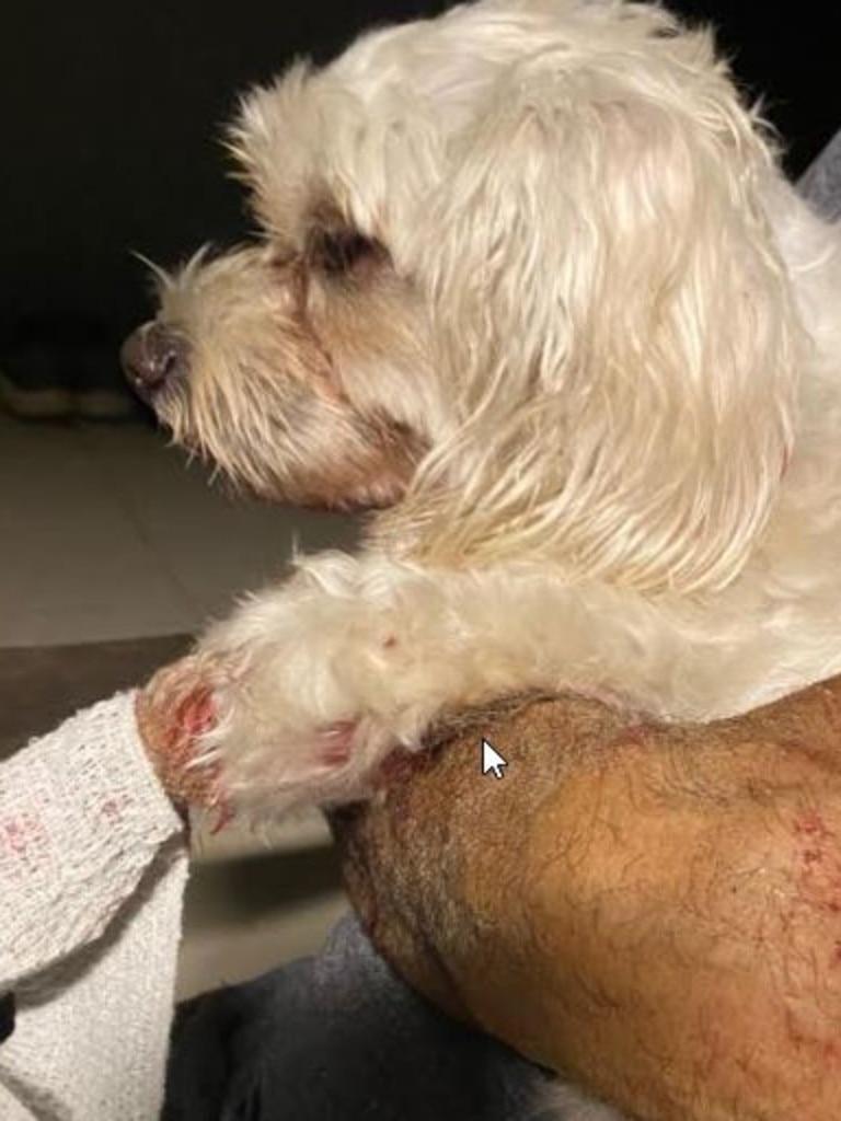 Stephen Cordenos' pet maltese Khaleesi after the Wonga Beach attack. PHOTO: Stephen Cordenos
