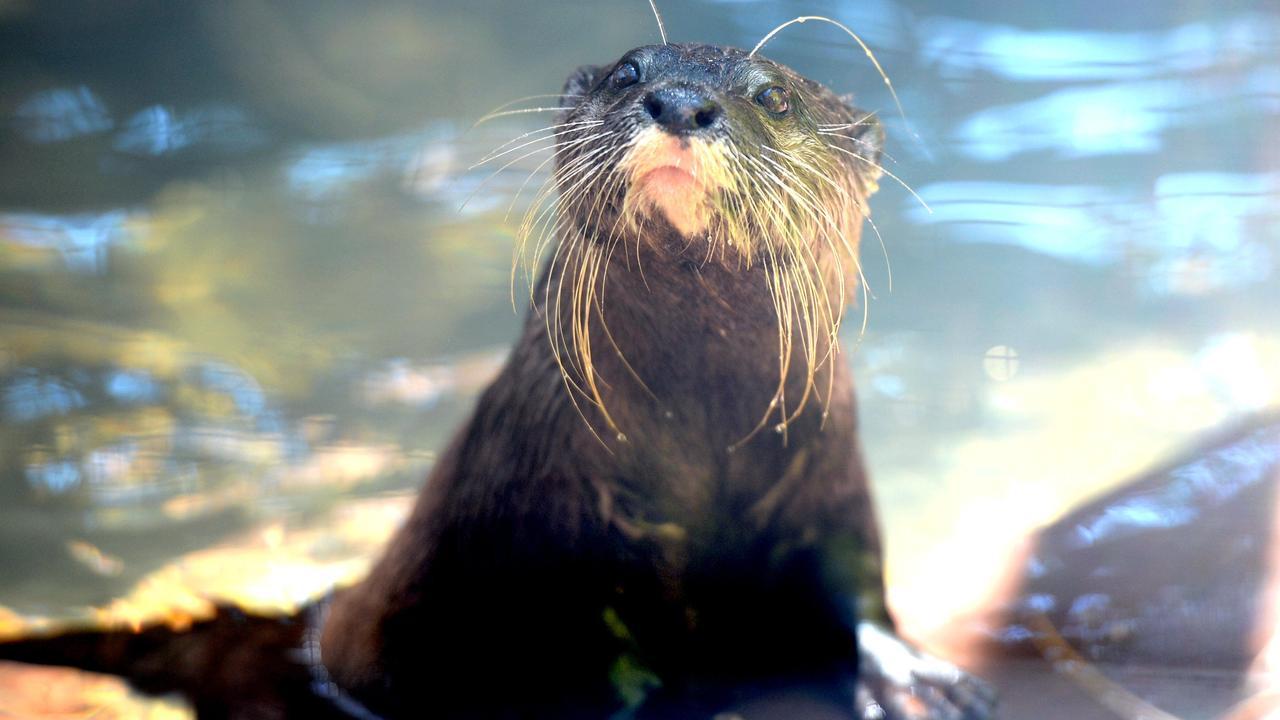 Otters at Rockhampton Zoo. Picture: Allan Reinikka