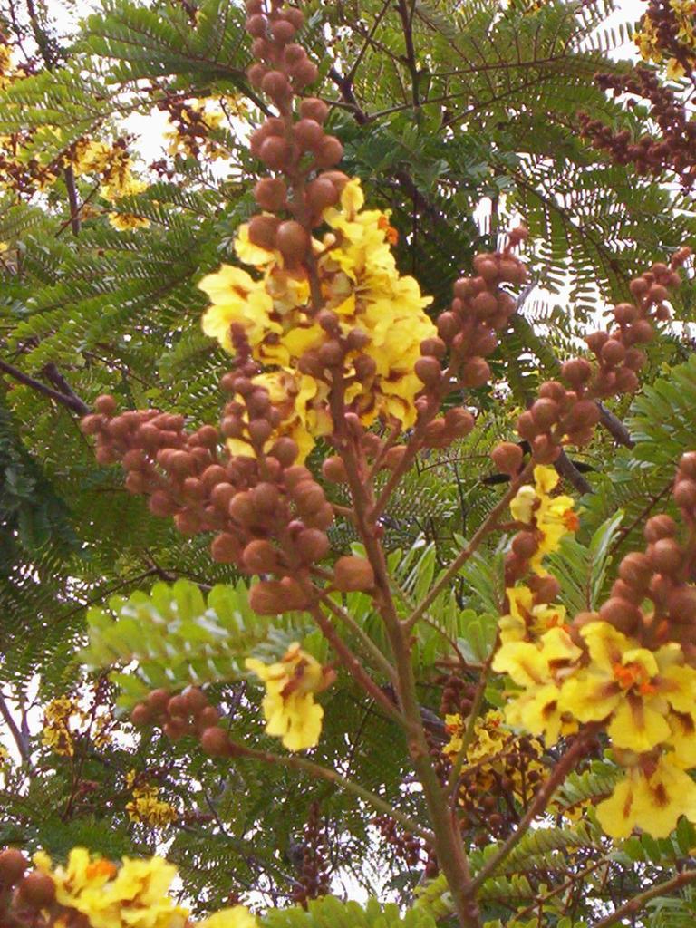 Peltophorum flower