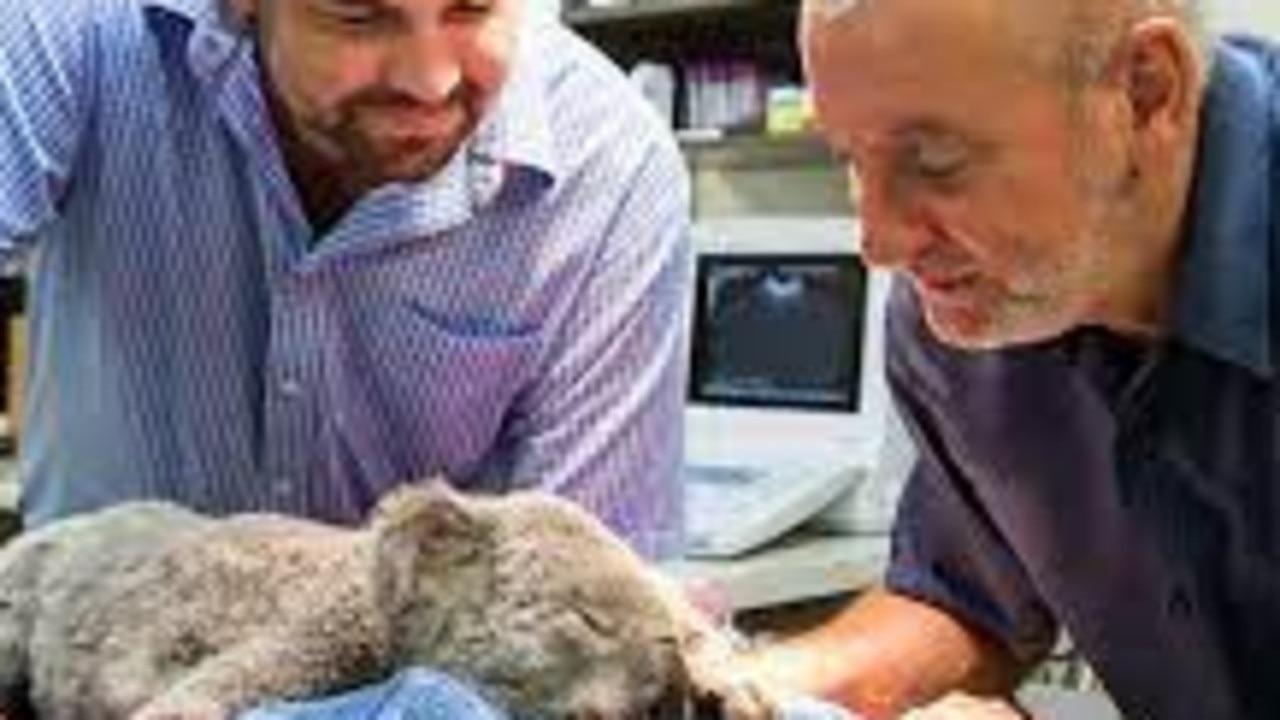 University of the Sunshine Coast microbiologists Professor Peter Timms and Associate Professor Adam Polkinghorne tend to a sick koala.