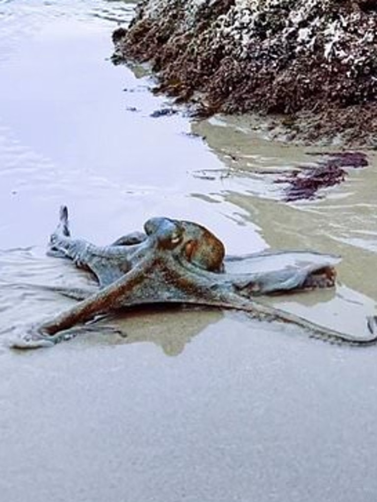 Sydney resident Jarrah Brailey filmed the eight-legged creature.