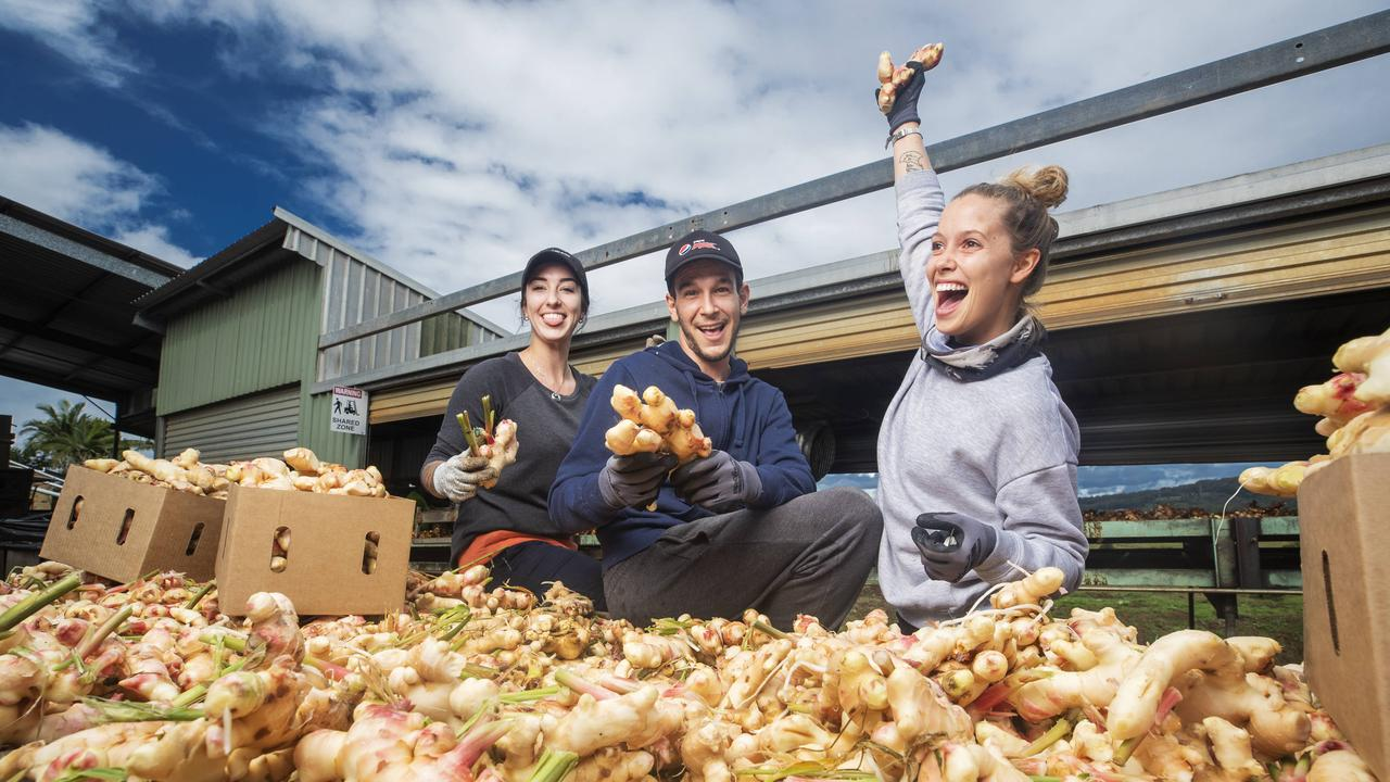 Emily Lowther, 24, from Perth, Jeremy Saliou, 30, from France and Valentina Trincucci, 28, from Italy, trimming ginger at Templetons Ginger at Eumundi. Picture: Lachie Millard.