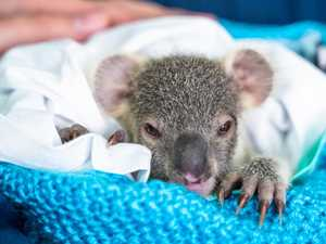 'Sad statistic': Dogs and cars cause 80% of koala injuries