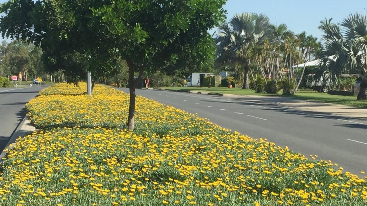 Gazania scandens on Norman Road
