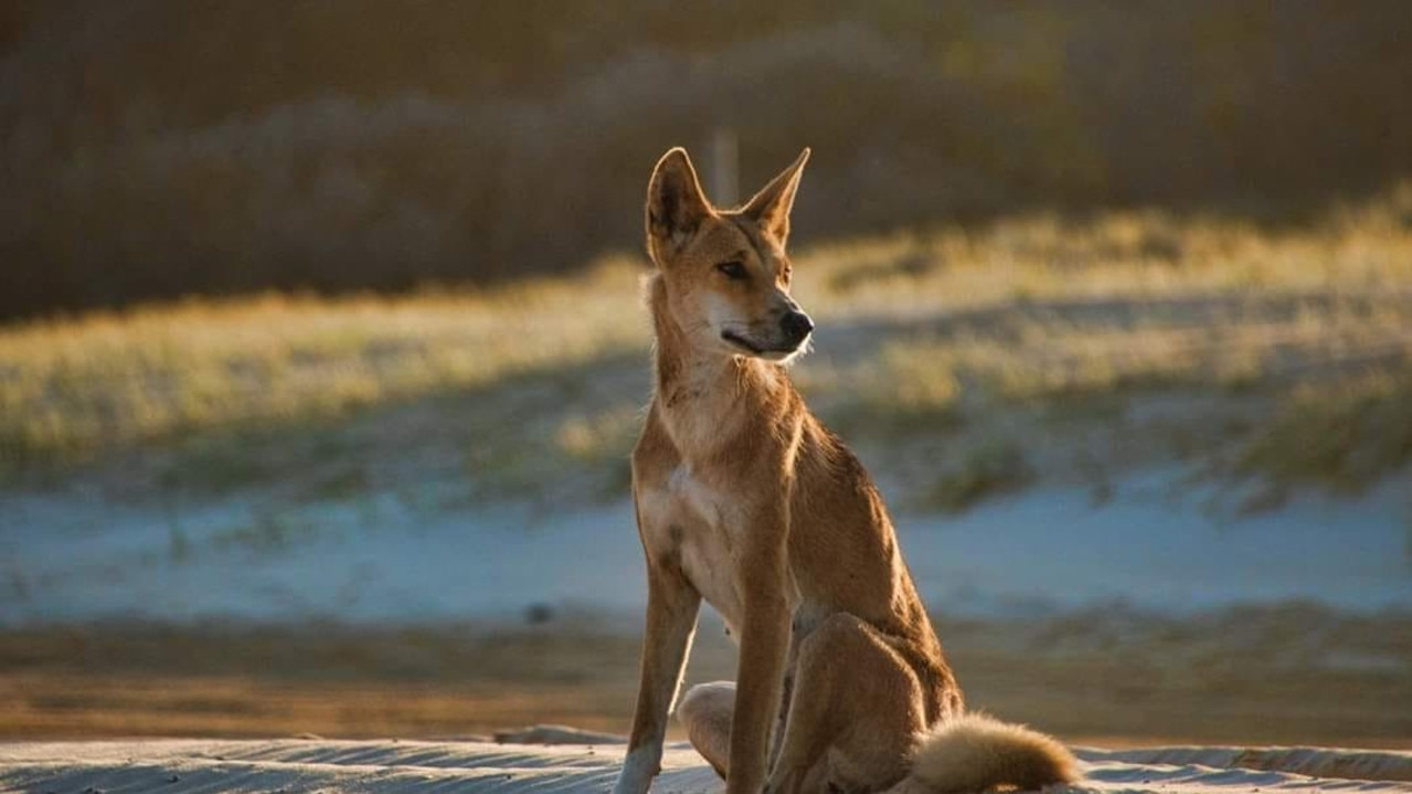 A second boy has been attacked by a dingo at Orchid Beach, the second attack on Fraser Island in a matter of weeks.