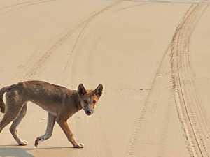 Dingo fatality 'inevitable' on Fraser Island