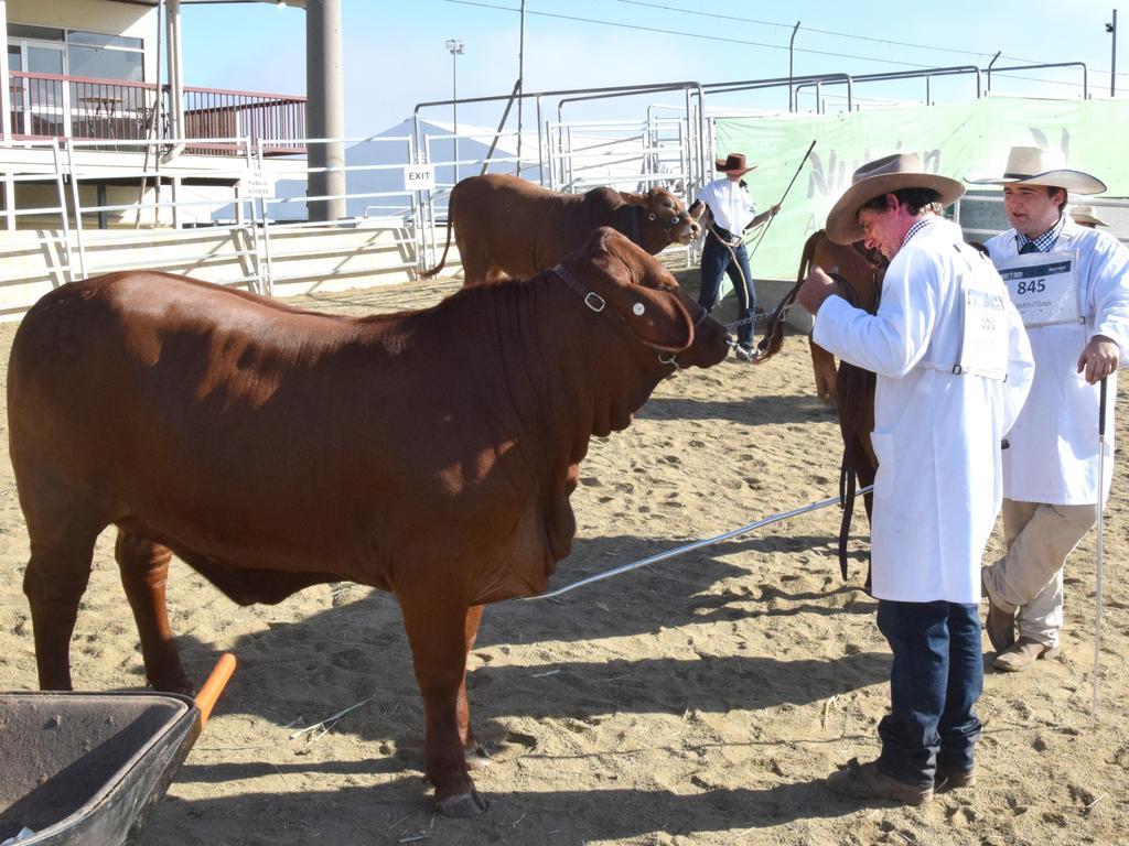 BEEF AUSTRALIA 21: cattle judging