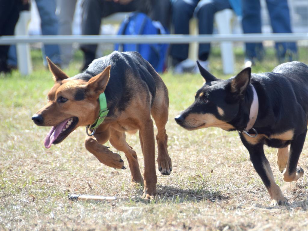 BEEF AUSTRALIA 21: Neil McDonald's working dogs demonstration