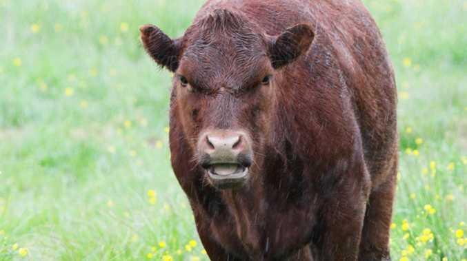 Udder catastrophe: Man hospitalised after cow collision