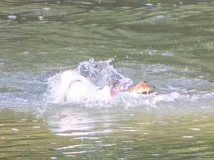 Shark me, it's snack time! Crocs in tussle on river