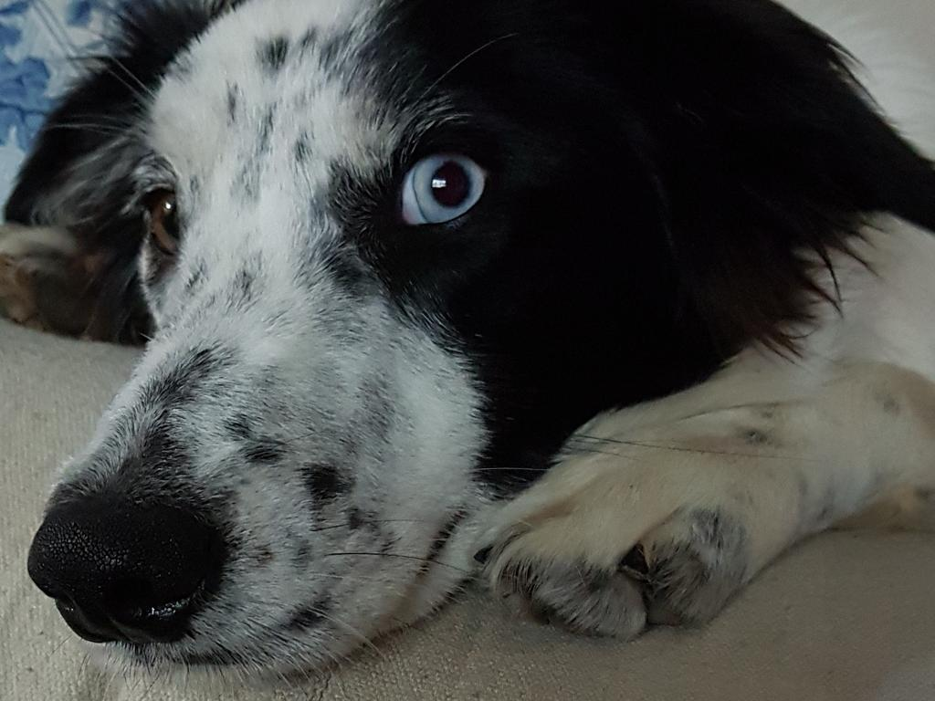 Saxe's pupils are now permanently dilated, which scared the other dogs in the house at first. Picture: Shireen Pitt
