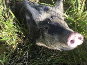 Road hog! Police puzzled over unusual highway find