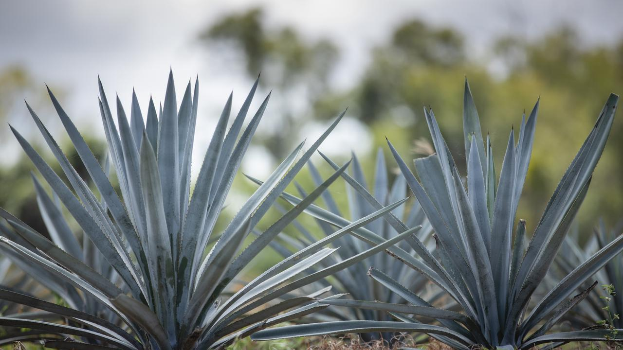 The most widely known agave spirits are tequila and mezcal. There are two types of agave plants that are most common in the distillation of Agave spirits, with Espadin - most commonly used in mezcal, and Blue Agave - all tequila. Top Shelf International has Blue Agave (Agave Tequilana Weber Azul) which are acclimated toAustralia. Picture: Contributed