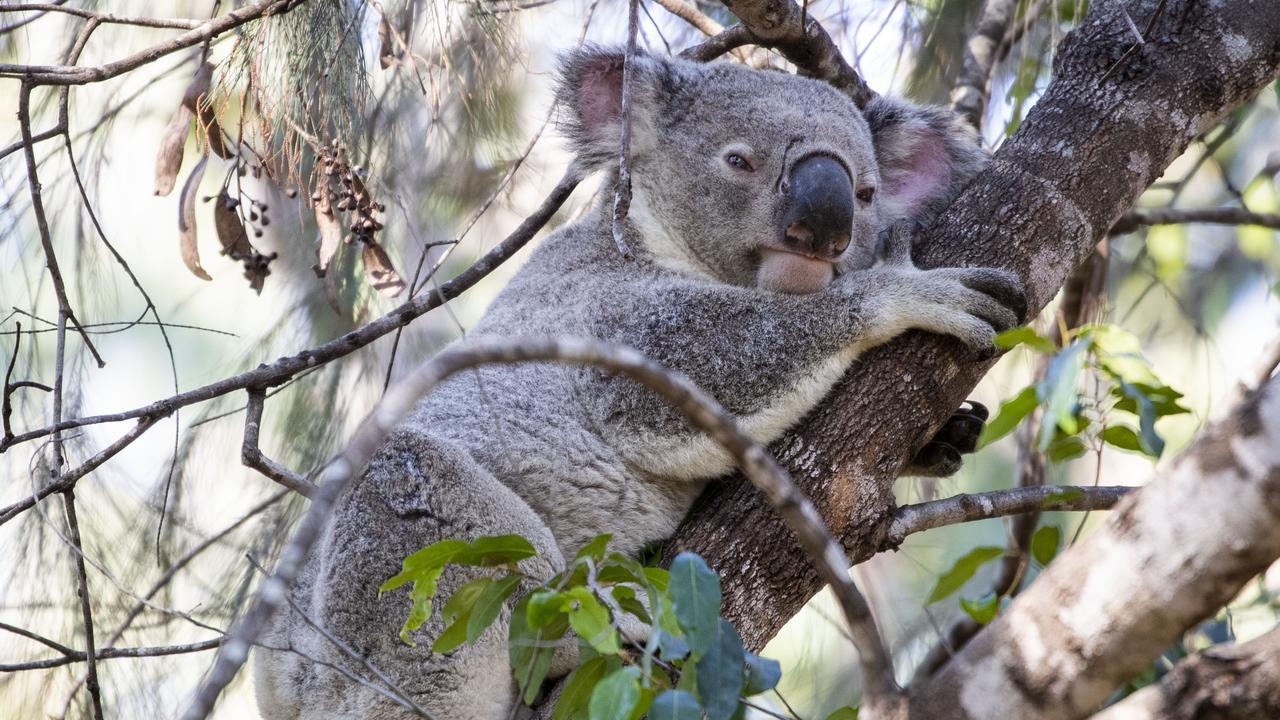 A koala in Toohey Forest Park. Picture: Glenn Hunt/The Australian